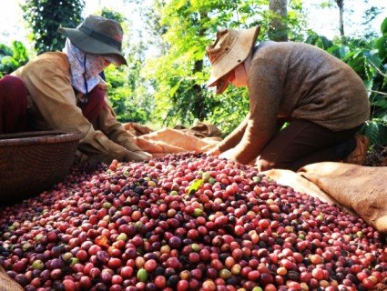 Coffee Harvest Season